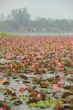 O mar do lago vermelho dos lírios de água de Lotus Pink em Tailândia Fotografia de Stock Royalty Free