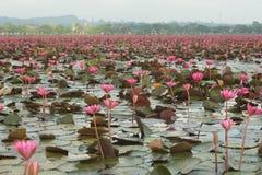 O mar do lago vermelho dos lírios de água de Lotus Pink em Tailândia Imagens de Stock Royalty Free