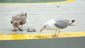 O mar do pássaro da gaivota come o alimento filme