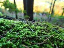 O maravilhoso no musgo verde e ensolarado Imagens de Stock Royalty Free