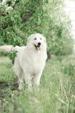 o maremma Neve-branco está em um jardim de florescência foto de stock royalty free