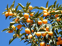 O margarita 2010 di Yehuda Fortunella Fotografia Stock