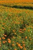 O marigold dourado coloca (3) Imagem de Stock
