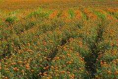O marigold dourado coloca (4) Foto de Stock Royalty Free