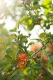 O marmelo de Japão está florescendo Fotografia de Stock