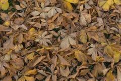 O marrom atrasado do outono desvaneceu-se fundo das folhas da castanha de cavalo Foto de Stock Royalty Free