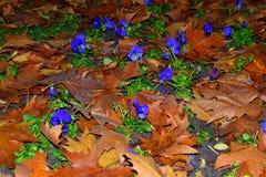 O marrom caído flores das violetas sae do jardim Fotos de Stock Royalty Free