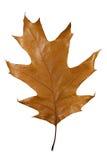 O marrom do outono deixa o carvalho isolado Fotos de Stock Royalty Free