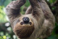 O marrom grande três-toed a preguiça que escala em um ramo imagens de stock royalty free