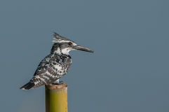 O martinho pescatore pied Fotos de Stock Royalty Free