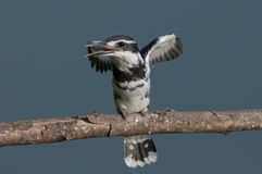 O martinho pescatore pied Imagens de Stock