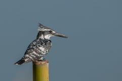 O martinho pescatore pied Fotografia de Stock Royalty Free