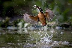 O martinho pescatore salta na água para a alimentação imagem de stock royalty free