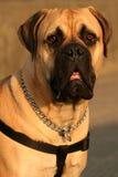 O Mastiff de Bull Fotografia de Stock