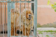 O mastiff tibetano imagens de stock