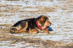 O mastim tibetano famoso está guardando a entrada ao acampamento Fotos de Stock