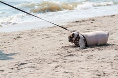 O medo bonito do pug do cão do close-up e o mar receoso da água encalham quando os povos tentam puxar o pug para jogar a nadada n foto de stock royalty free