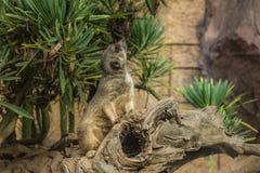 O meerkat é uma espécie de mamífero carnívoro da família Herpestidae que habita a região do deserto de Kalahari e do N fotografia de stock