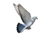 O meio do ar do voo do pássaro do pombo isolou o fundo branco foto de stock