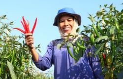 O meio envelheceu o fazendeiro da mulher, com o pimentão orgânico vermelho Imagem de Stock
