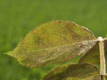 O meldew pulverulento em aumentou as folhas imagem de stock
