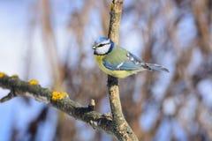 O melharuco azul euro-asiático pendura em um ramo seco um o dia ensolarado brilhante Fotografia de Stock Royalty Free