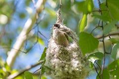 O melharuco euro-asiático masculino do penduline que canta no ninho inacabado Imagem de Stock