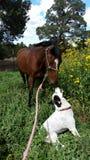 O melhor amigo de um mustang Fotografia de Stock Royalty Free