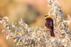 o melro Amarelo-dirigido empoleirou em uma árvore um por do sol imagens de stock royalty free