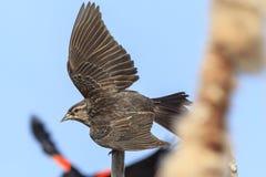 O melro vermelho-voado fêmea voa fora Imagens de Stock