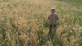 O menino anda em um campo de grão come os spikelets video estoque
