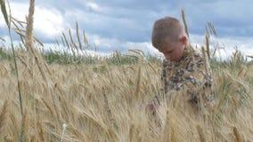 O menino anda em um campo de grão come os spikelets vídeos de arquivo