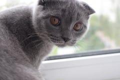 O menino de orelhas caídas de cabelos curtos de mármore azul escocês do gatinho dos seis-meses envelhece imagens de stock