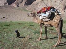 O menino e o camelo Fotos de Stock