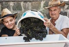 O menino novo com avô espalha grupos de uvas à videira p Fotografia de Stock
