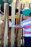 O menino novo dá o leite a uma cabra Fotos de Stock Royalty Free