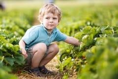 O menino pequeno feliz da criança escolhe sobre morangos de uma colheita da exploração agrícola da baga Fotos de Stock Royalty Free