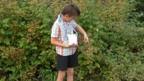 O menino recolhe framboesas na cubeta video estoque