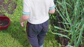 O menino recolheu bagas maduras vermelhas no jardim A criança vai com uma cubeta completa das bagas sobre Colheita no video estoque