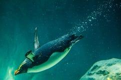 O menor pequeno australiano adorável de Eudyptula do pinguim é a espécie a menor de natação do pinguim no tanque de água fotografia de stock royalty free