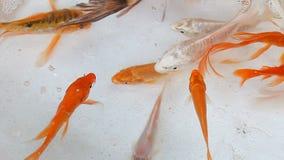 O mercado de peixes em Hong Kong Goldfish decorativo vídeos de arquivo