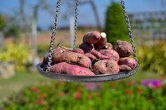 O mercado vegetal com uma pilha de batatas doces doces orgânicos frescos toma sol dentro, Tailândia Fotografia de Stock Royalty Free