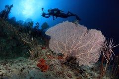 O mergulhador nada acima dos ventiladores de mar, Maldives Fotos de Stock