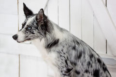 O merle azul border collie está sentando-se perto da porta de madeira Fotos de Stock