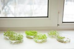 O micro fresco esverdeia as plântulas que crescem em uma soleira imagens de stock