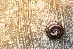 O milípede rolou em um círculo isolado no fundo branco Fotografia de Stock
