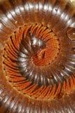 O milípede venenoso do monstro rolou em um círculo Fotografia de Stock Royalty Free