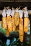 O milho amarelo pendurado acima secando Fotos de Stock Royalty Free