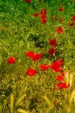 O milho aumentou apreciando o sol suave Fotos de Stock