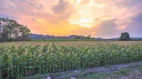 O milho começa a florescer em campos de milho fotografia de stock royalty free